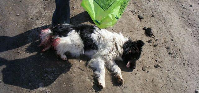 Schießübungen auf Streunerhunde in Miercurea Ciuc